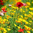 WILD CALIFORNIA POPPIES by Teresa Chipperfield