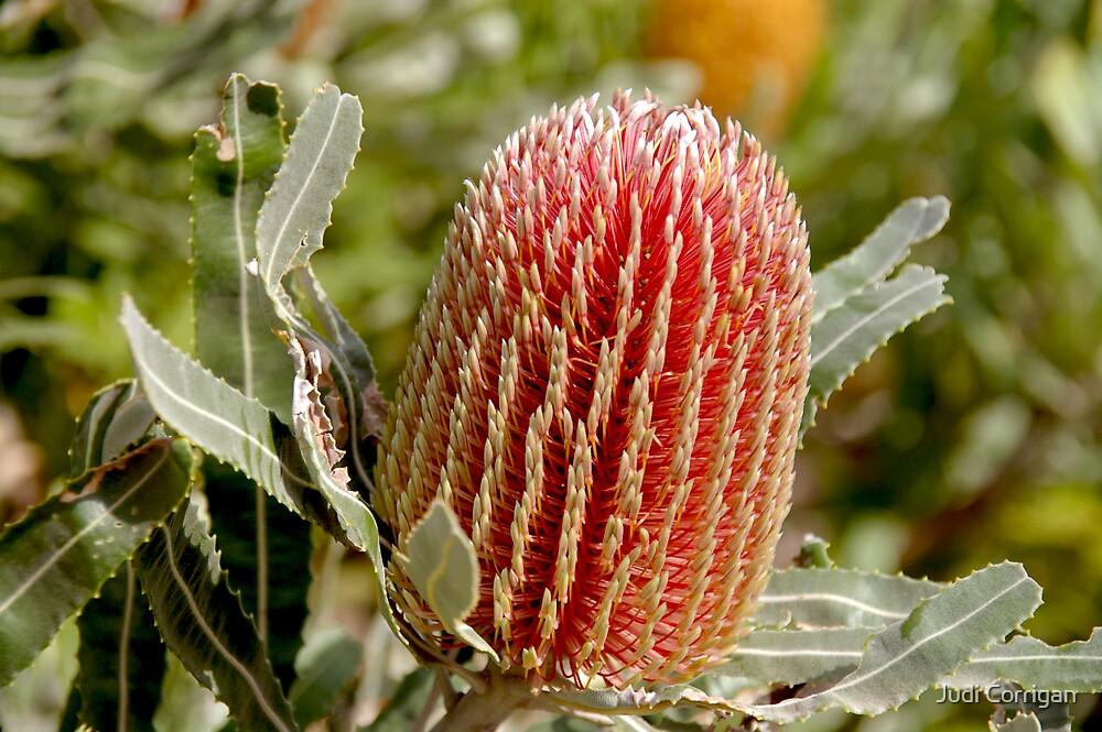 Banksia by Judi Corrigan