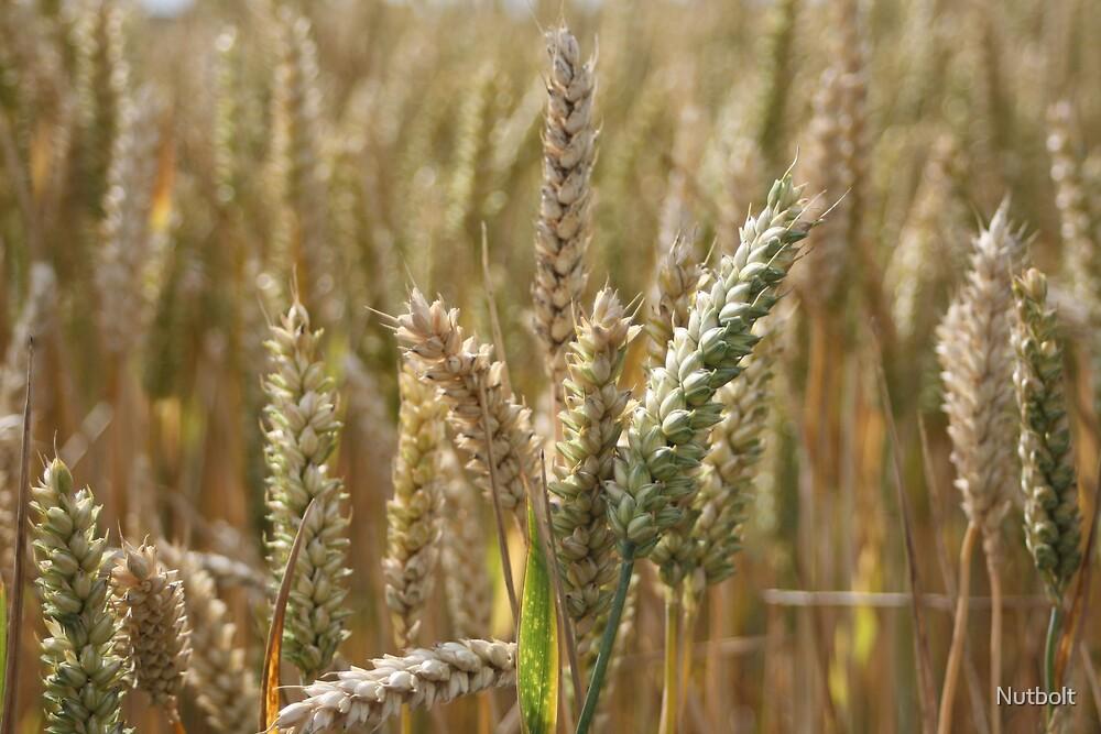 Wheat Field by Adam Jackson