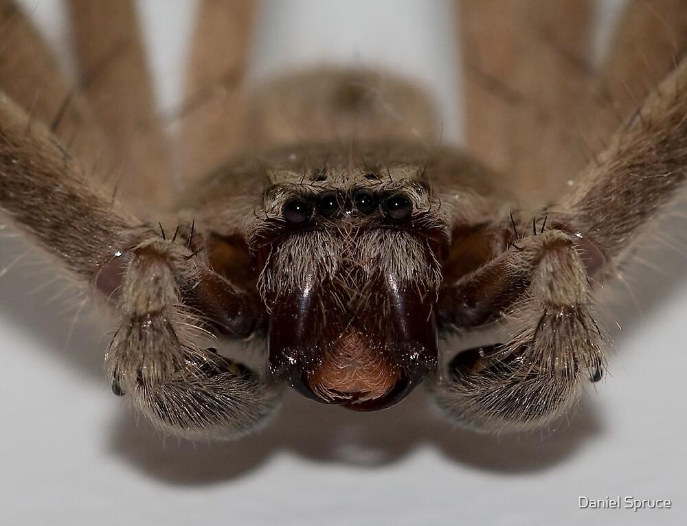Spider Stare Down by Daniel Spruce