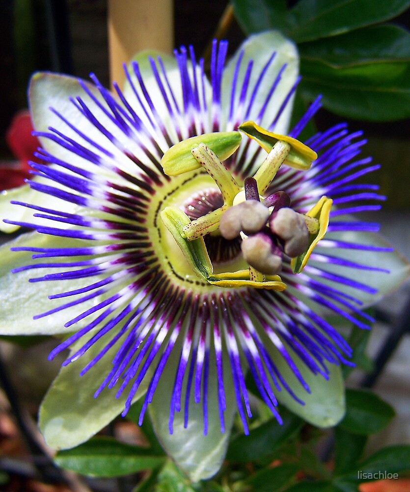 Passion Flower by lisachloe