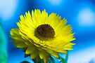 Strawflower by John Velocci