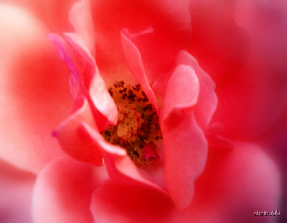 Center of the Rose by shelbu94