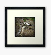 Bush Stone Curlew Framed Print