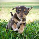Puppy run by Penny Kittel