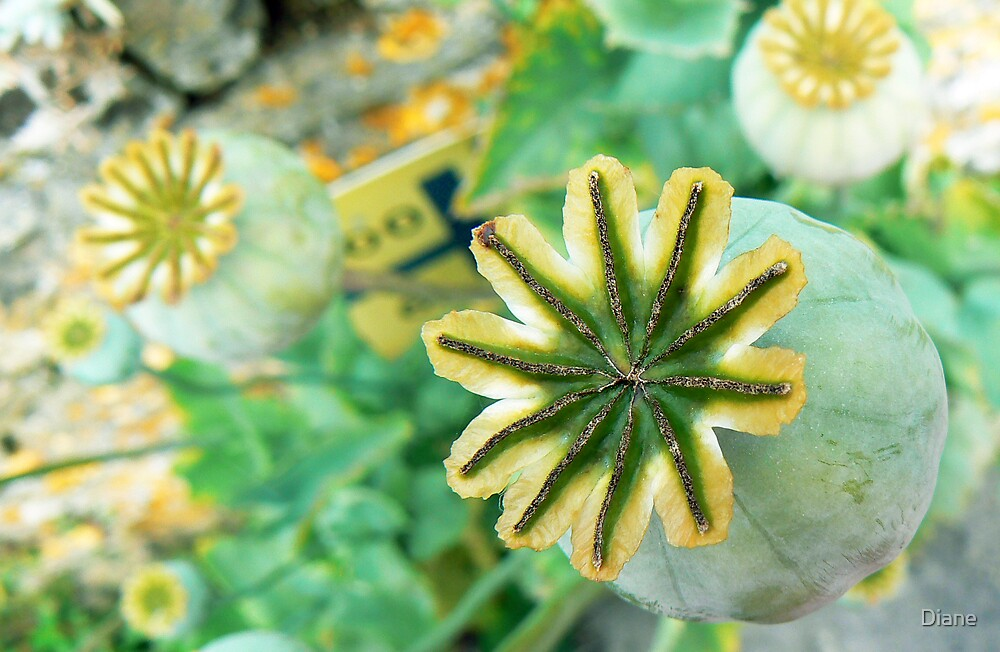 Poppy Bulb by Diane