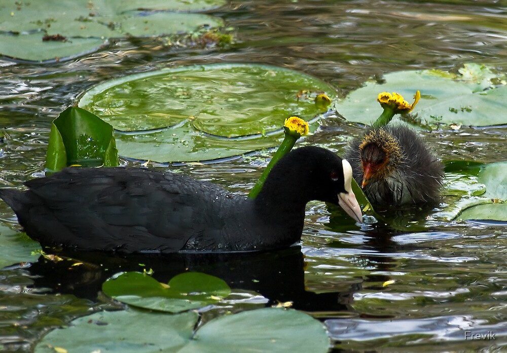 Waterhen with baby by Frevik