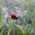 Ladybug by Kimberly Johnson