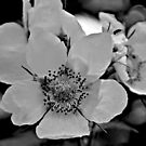 Glacier National Park Wild Flowers, black and white2 by StonePics