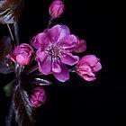 Cherry Blossom by John Edwards
