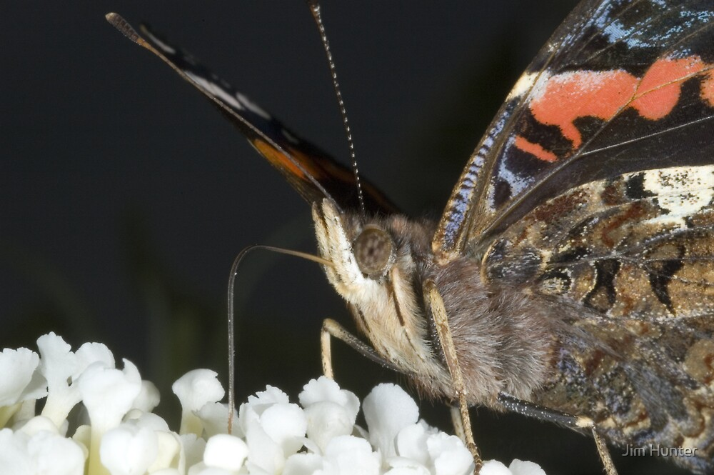 Red Admiral by Jim Hunter
