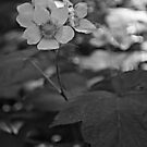 Glacier National Park Wild Flowers, black and white by StonePics