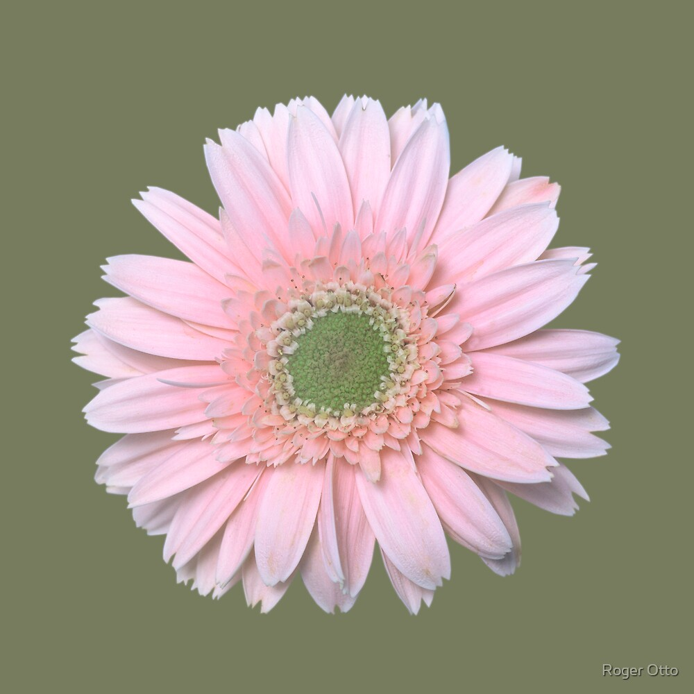 Gerbera Daisy by Roger Otto