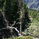 Glacier National Park, Dead Tree and Mountain by StonePics