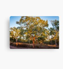Landscape with Red Skin Australian gum trees Canvas Print