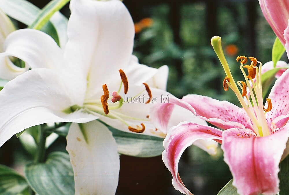Mixed Lilies by Justina M