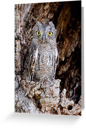 Western Screech Owl by Daniel J. McCauley IV
