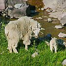Glacier National Park and Rocky Mountain Sheep by StonePics