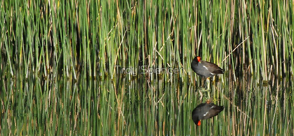 Moorhen in Reeds by Troy Spencer