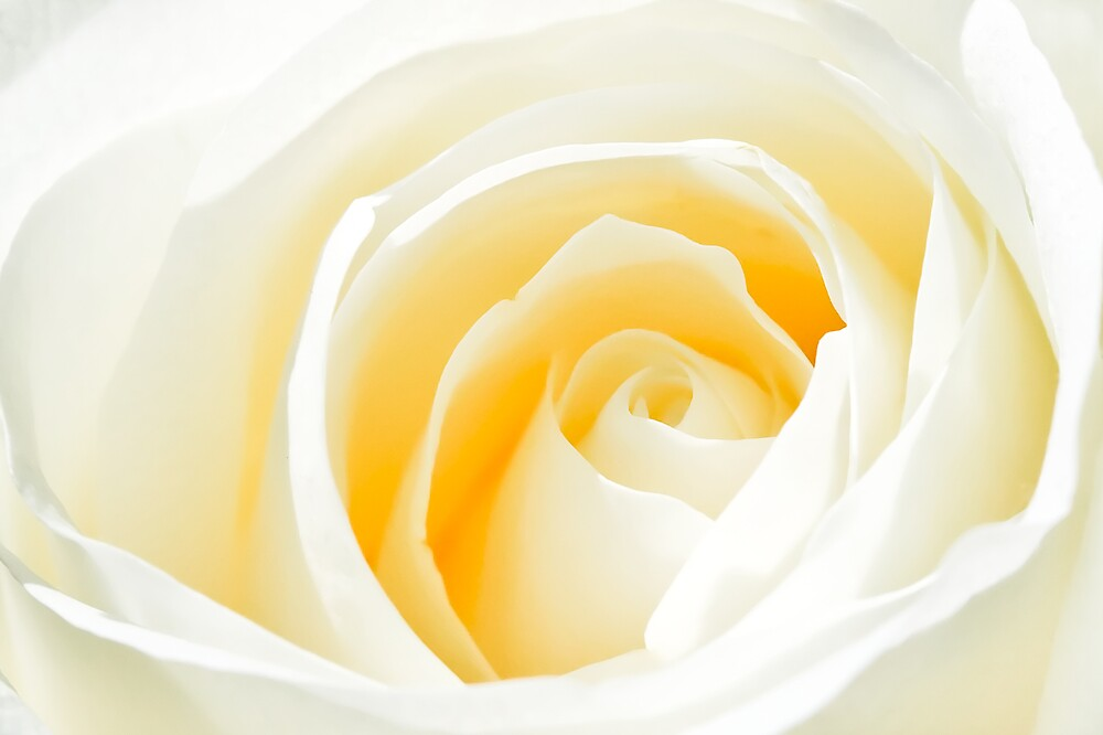 White Rose by Michael Swanson