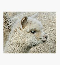 Little Alpaca Photographic Print