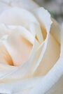 White Rose 2 by John Velocci