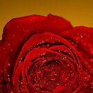 Red Rose macro by John Velocci