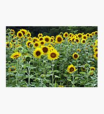 Sunflowers, Sunflowers, Sunflowers Photographic Print
