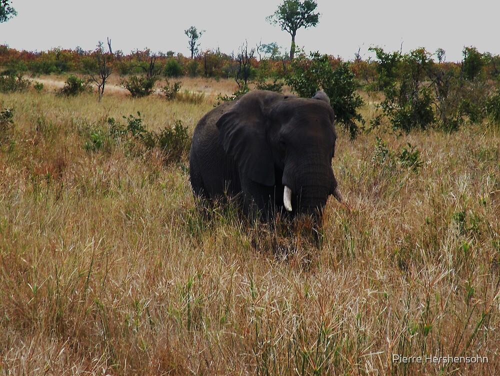 Elephant 2 by Pierre Hershensohn