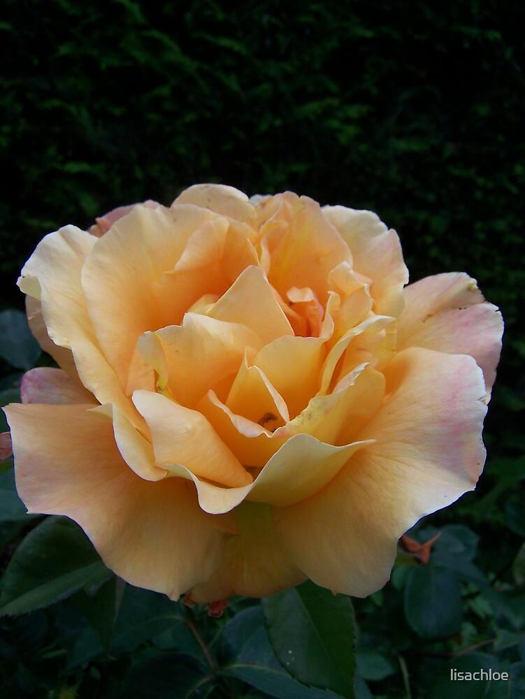 Peach Rose by lisachloe