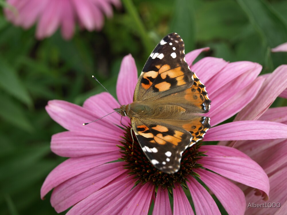 NC Butterfly by Albert1000