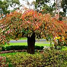 Weeping Cherry Tree in Autumn by Bev Pascoe