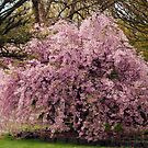 Flowering Cherry Blossoms by Bev Pascoe