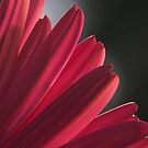 Pink Petals by Sue  Cullumber