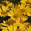 Beautiful Bright Yellow Daisies by Joy Watson