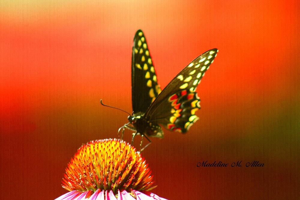 MY LITTLE FLUTTER BY by Madeline M  Allen