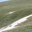 glacier elk by Brynne Kaufmann
