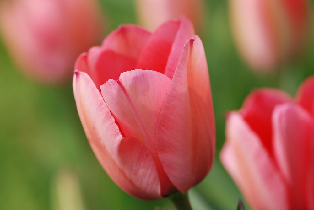 Tulip by ssphotographics