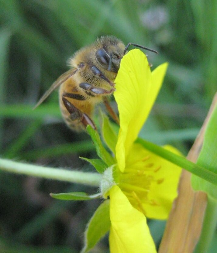 Shy Honeybee by Chris Caples