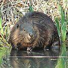 Beaver by tkrosevear