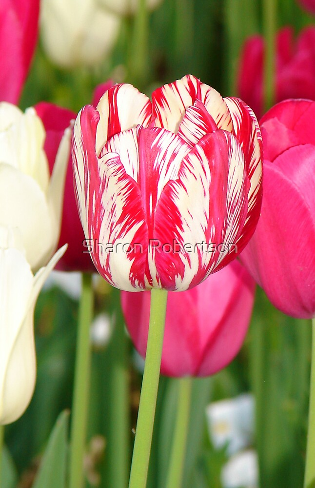 red and white tulip by Sharon Robertson