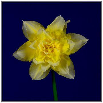 Double headed daffodil by DerekCorner