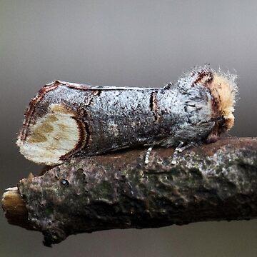 Buff tail moth by DerekCorner