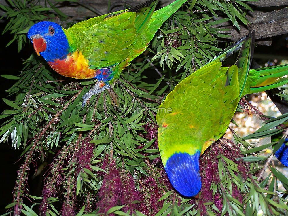 Rainbow Lorrikeets by shot2fame