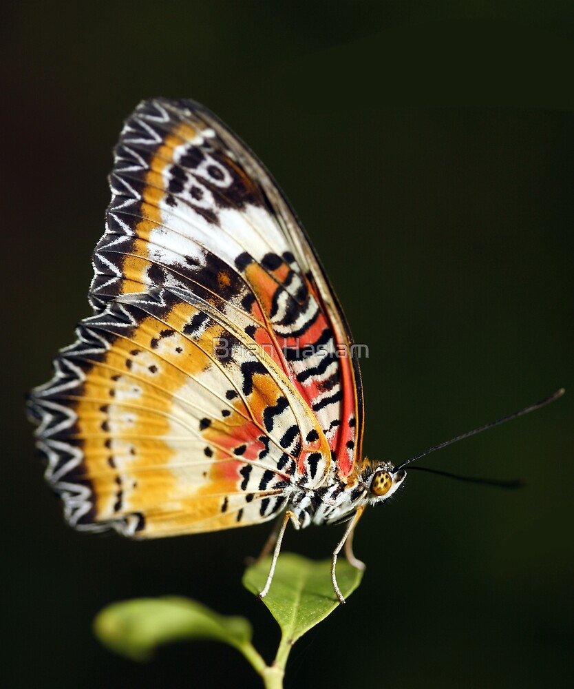 Lacewing by Brian Haslam