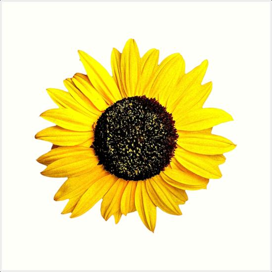 Sunflower Drawing