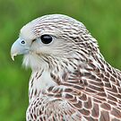 Gyrfalcon by Vicki Spindler (VHS Photography)