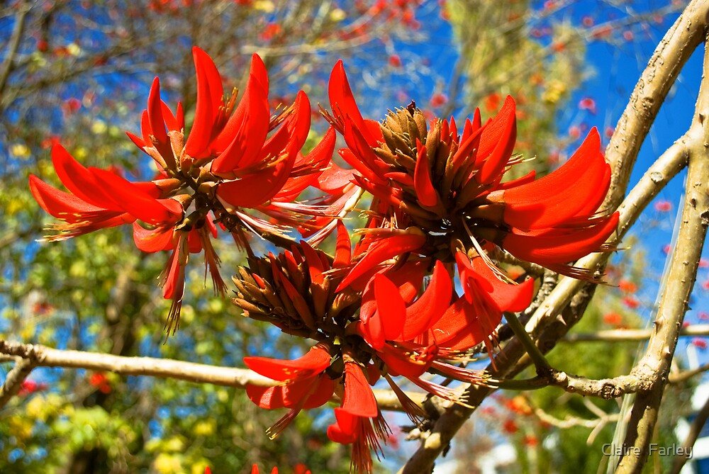 Flame tree flower by Claire  Farley