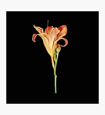 Orange Daylily Illustration Photographic Print