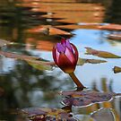 Water Lily Tranquility by DARRIN ALDRIDGE